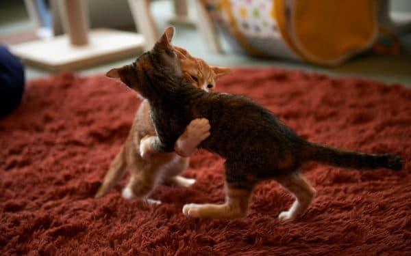 Как отличить игровое поведение кошек от агрессии