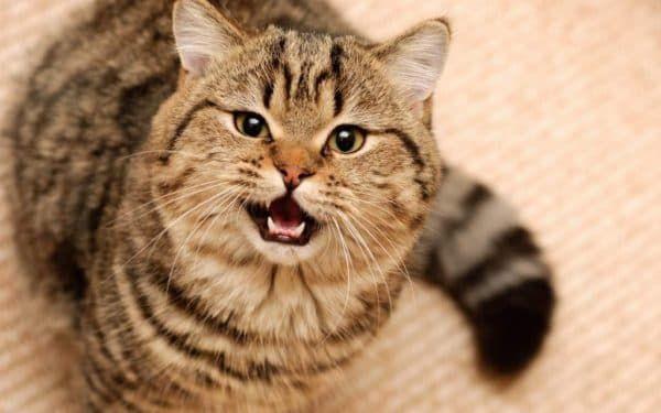 Как отучить кота орать. Эффективные методы