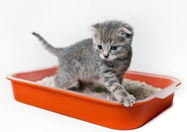 Как понять что котенок хочет в туалет читайте статью