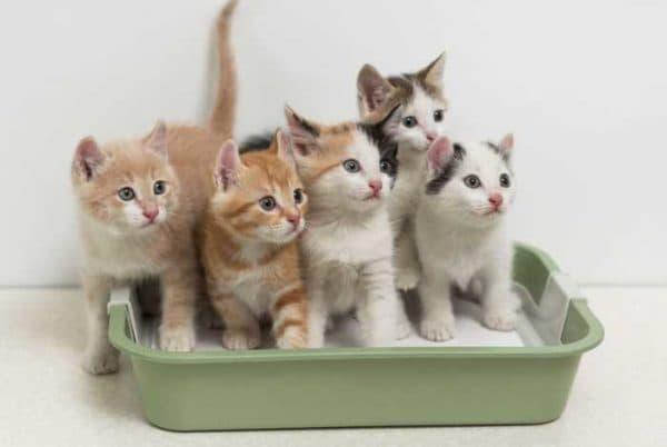 Как понять что котенок хочет в туалет