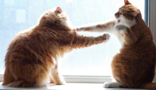 Как понять дерутся кошки или играют читайте статью