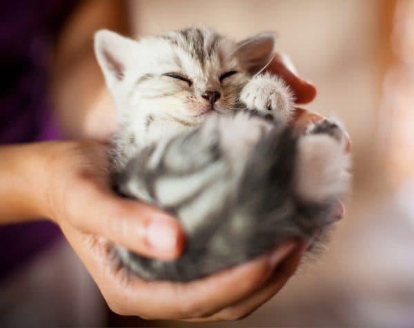 Как приучить котенка к рукам читайте статью
