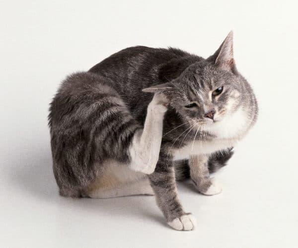Как узнать есть ли блохи у кошки