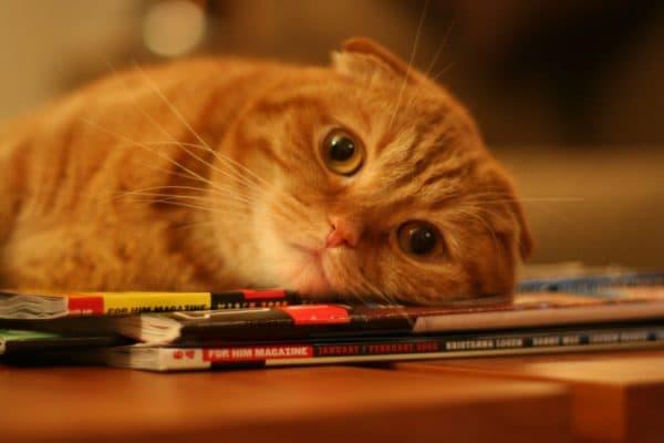 Опасность чеснока для кошек