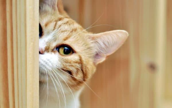Причины крика у котов