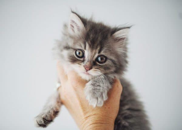 Способы приучения котенка к рукам