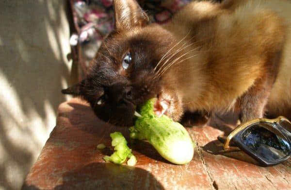 Как отучить кошку есть огурцы с грядки
