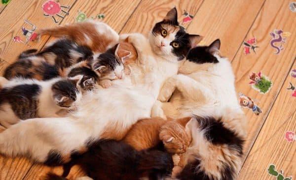 Как отучить котенка от сосания кошки читайте статью