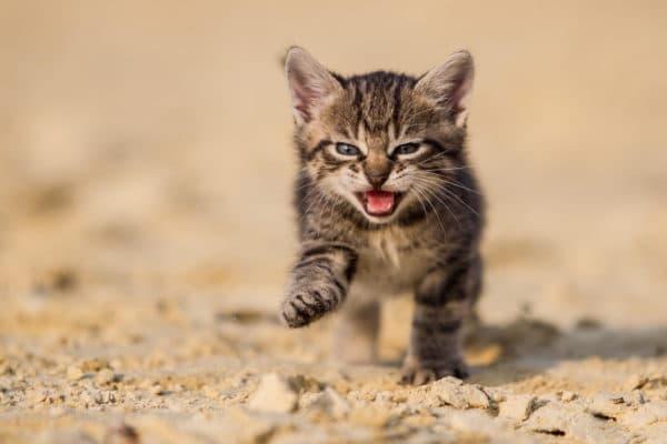 Кот ест песок