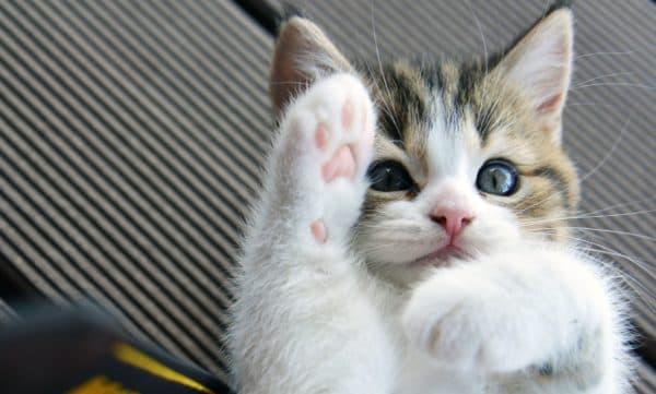 Кот грызет когти