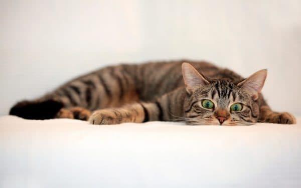 У кошки урчит в животе. Что делать