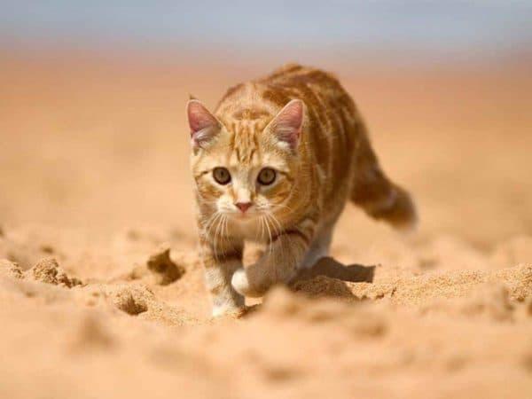 Зачем кошка ест песок читайте статью
