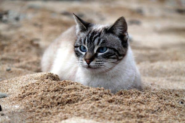 Зачем кошка ест песок
