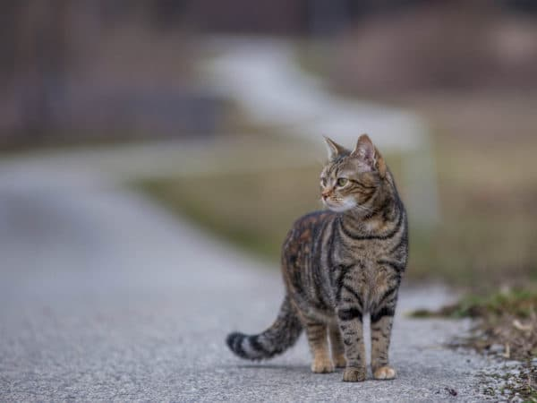 Как коты находят дорогу домой