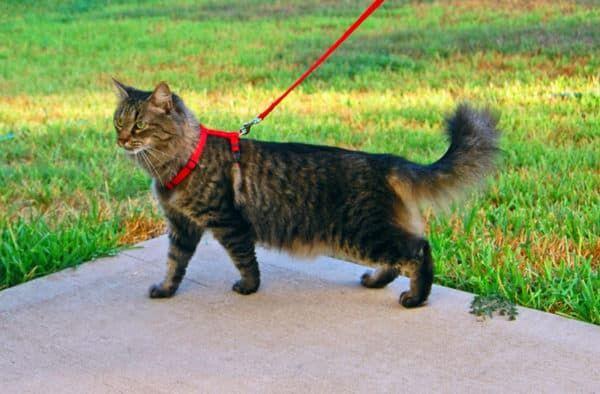 Как приучить кота к поводку