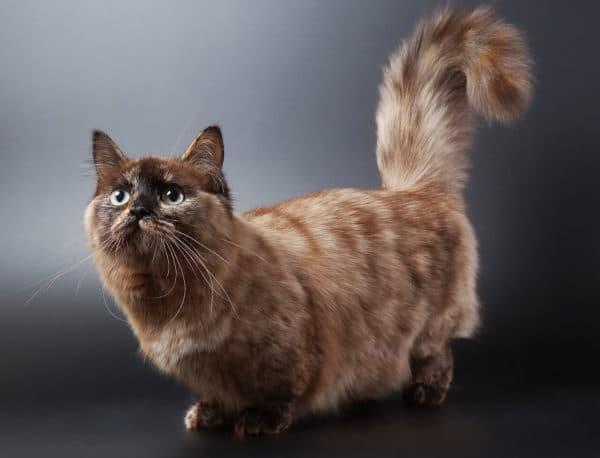 Коротколапые (карликовые) породы кошек