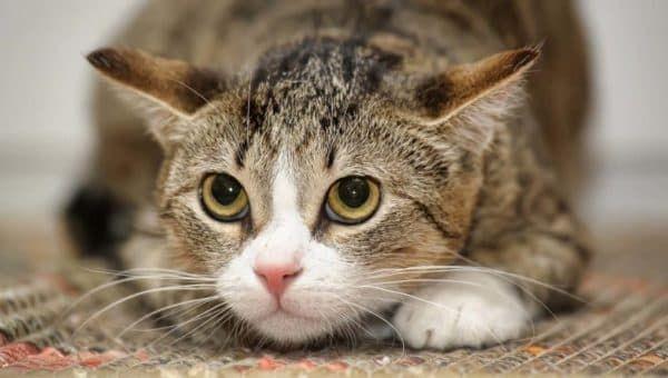 Почему кошка боится чужих людей читайте статью