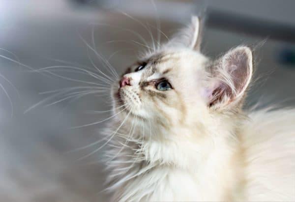 Почему у кошки ломаются усы