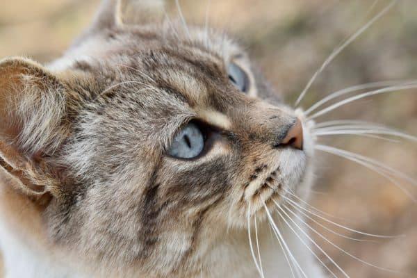 Причины обламывания и выпадения усов у кошек