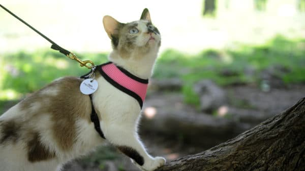 Приучение кошки к поводку
