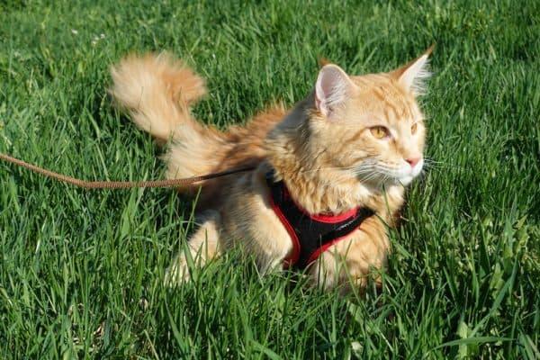 Приучение кота к поводку