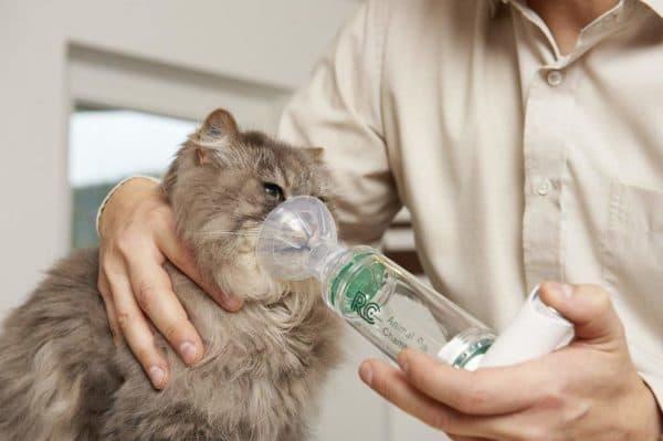 Астма у кошек. Причины, симптомы, эффективные методы лечения