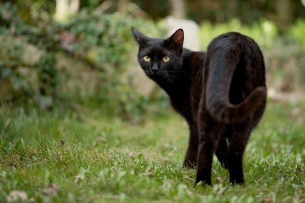 Черная кошка в доме – хорошо или плохо читайте статью