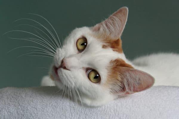 Демодекоз у котов читайте статью