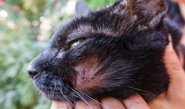 Демодекоз у котов