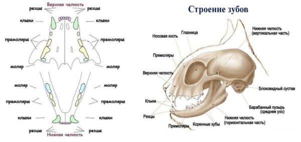 «Хищное» строение черепа домашнего питомца