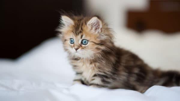 Как назвать пушистого котенка девочку читайте статью