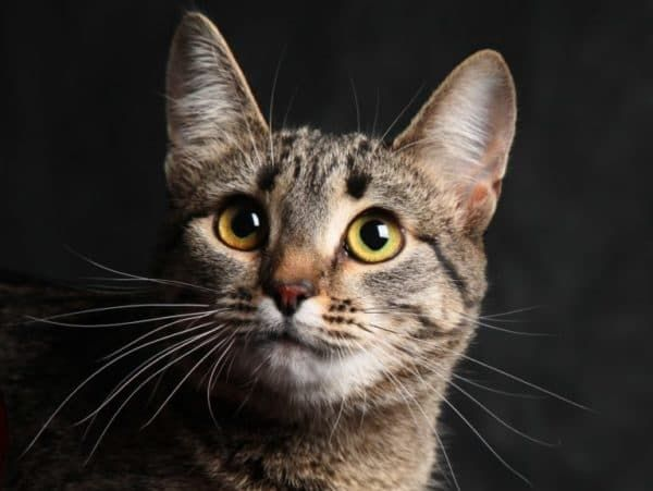 Калифорнийская сияющая кошка читайте статью