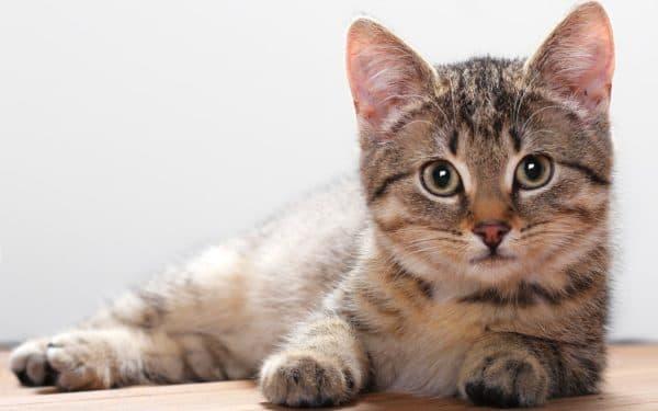 Кокки в моче у кота