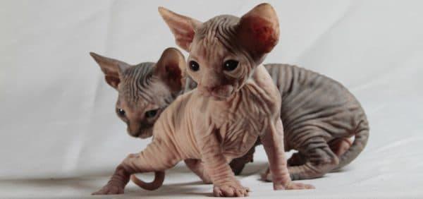 Кошки не линяют