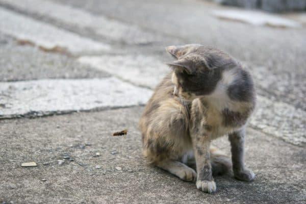 Кота укусила оса. Что делать