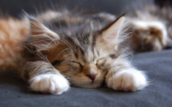 Котенок вялый и постоянно спит, что делать читайте статью