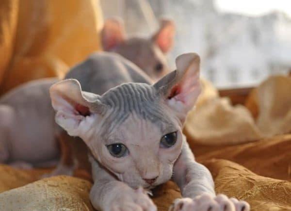 Минскин красивый кот