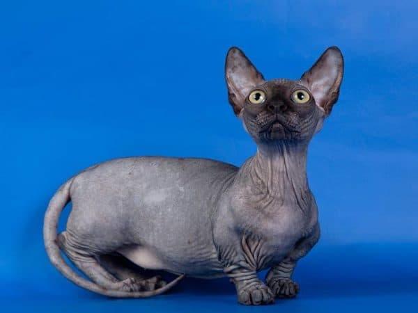 Минскин необыкновенный кот