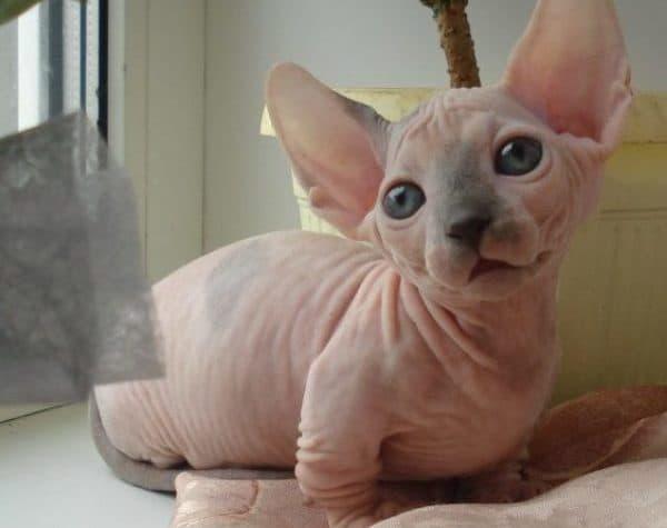 Минскин необыкновенный котик