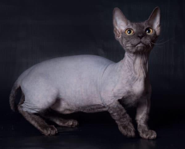 Минскин прекрасный кот
