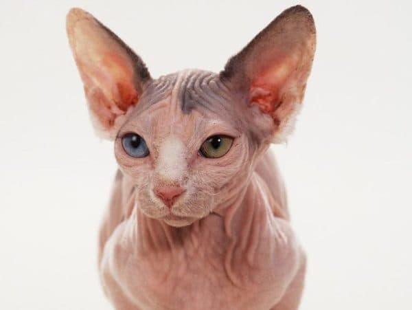 Минскин удивительный кот