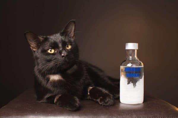 Можно ли кошек лечить водкой