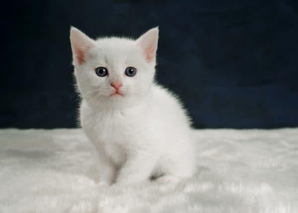 Называем котенка-девочку с белой шерсткой