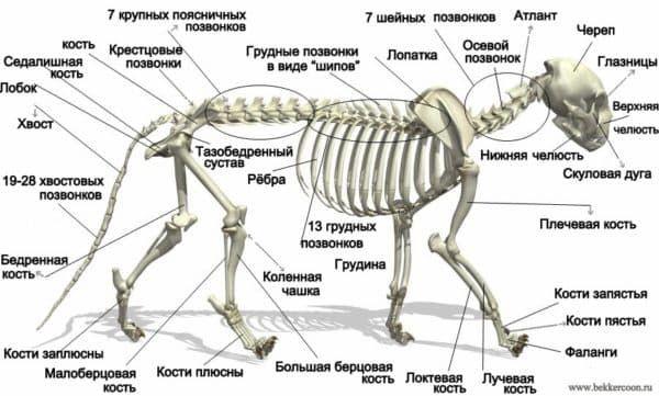 Сколько костей у кошки читайте статью